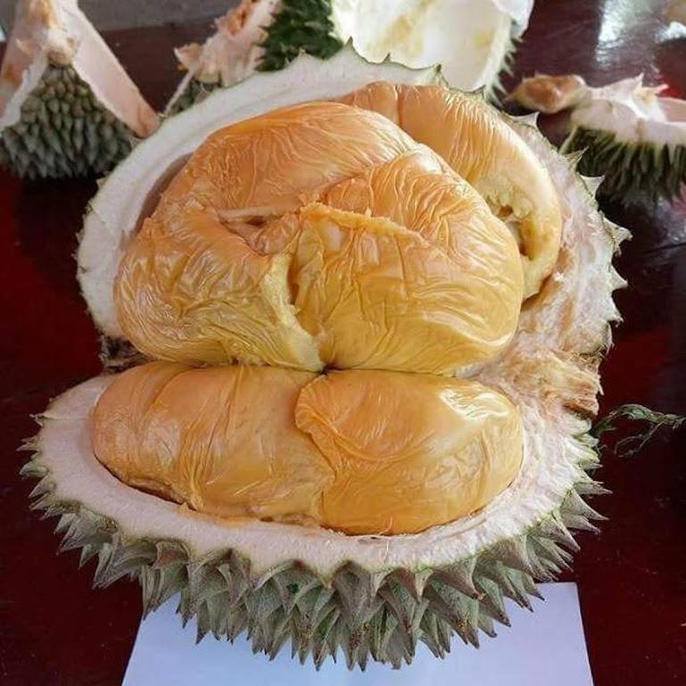 bibit durian musang king bibit durian bibit durian musangking Sawahlunto