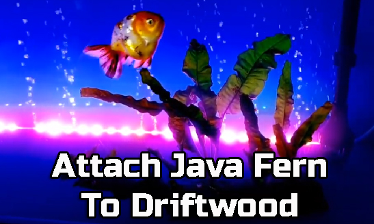 How to attach java fern to driftwood