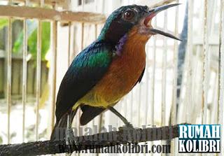 kolibri wulung malang