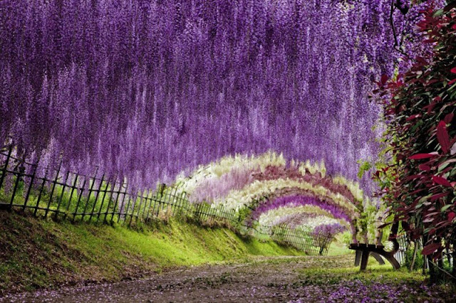 10 Wisteria Flower Tunnel, Japan