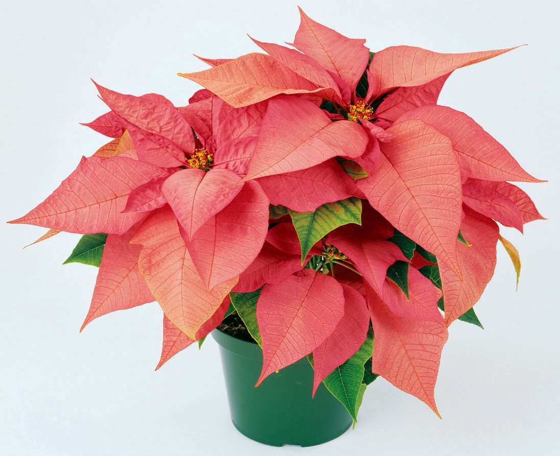 Phn Band Boosters Poinsettia Sale Orders Due 11 20 15