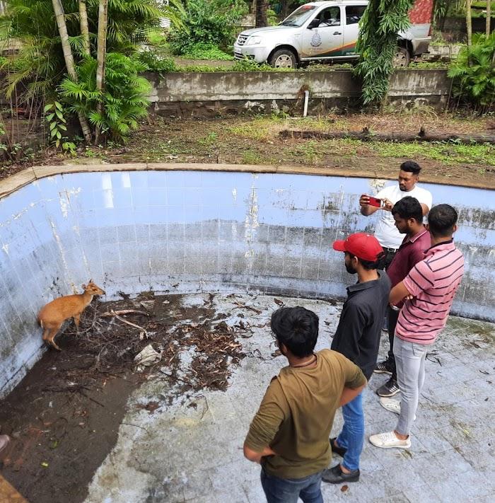 जलतरण तलावामध्ये पडलेल्या भेकराला प्राणीमित्रांनी दिले जीवदान