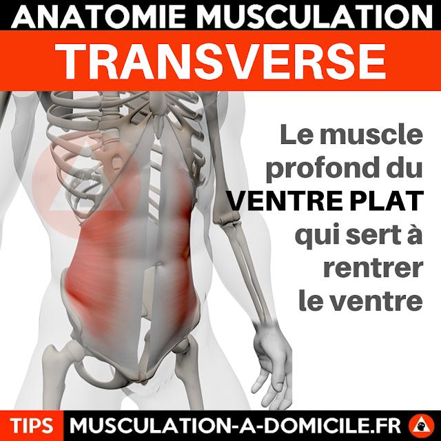 musculation à domicile anatomie des muscles abdominaux transverse ventre plat