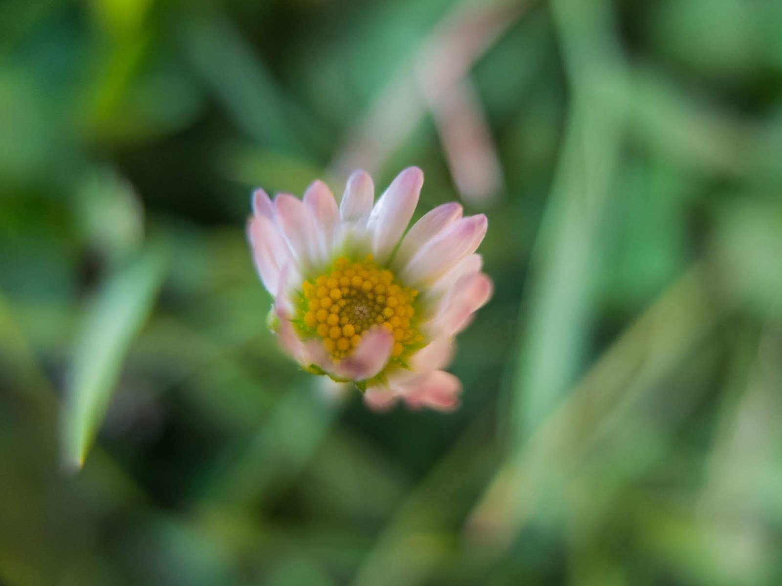 A macro of a small light pink Daisy captured among grass.
