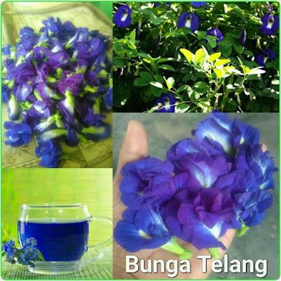 minuman bunga telang berwarna biru ungu alami