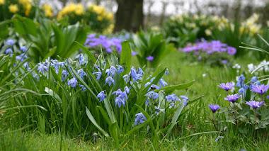 Scilla, plantas bulbosas cuyas flores anuncian la primavera