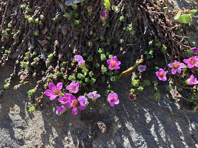 Saxifragaceae] Saxifraga oppositifolia – Purple Mountain Saxifrage (Sassifraga a foglie opposte).