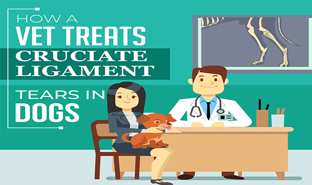 How a Vet Treats Cruciate Ligament Tears in Dogs #infographic