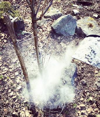 Tuhka leviää kauniisti tuulessa marjapensaan juurelle