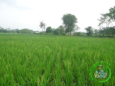 FOTO 3 : Padi TRISAKTI admin di sawah Tegalsungsang sudah bunting besar, keluar malai dan berbunga