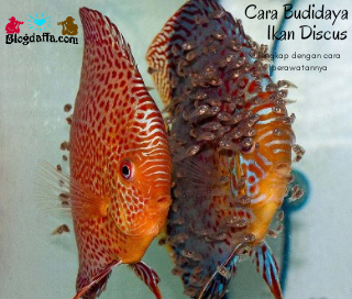 Cara Budidaya Ikan Discus