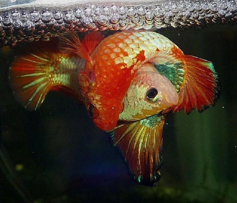 Gambar Ikan Cupang Kawin-Tips Penting Sebelum Memijahkan Atau Mengawinkan Ikan Cupang