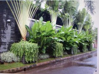 http://tukangtamankaryaalam.blogspot.com/2015/09/tanaman-hias-pisang-kipas-pohon-pisang.html
