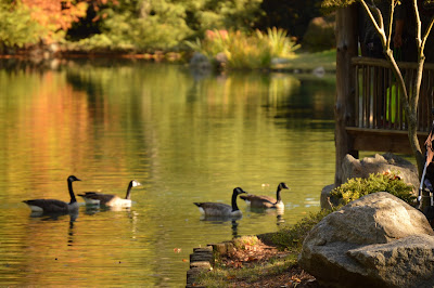 Geese on the koi pond in the Japanese gardens, Maymont, #RVA