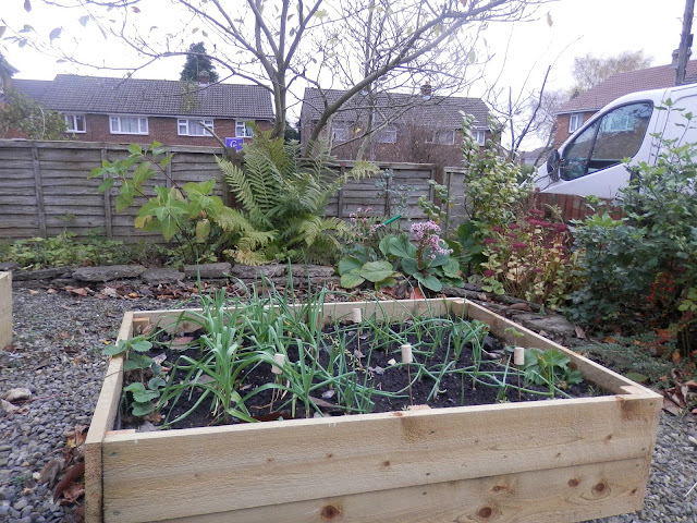 Front garden raised bed.  Lasagna method.  Garlic and onions.  My Garden, November 2015. secondhandsusie.blogspot.co.uk #ukgardener #ukgardenblogger