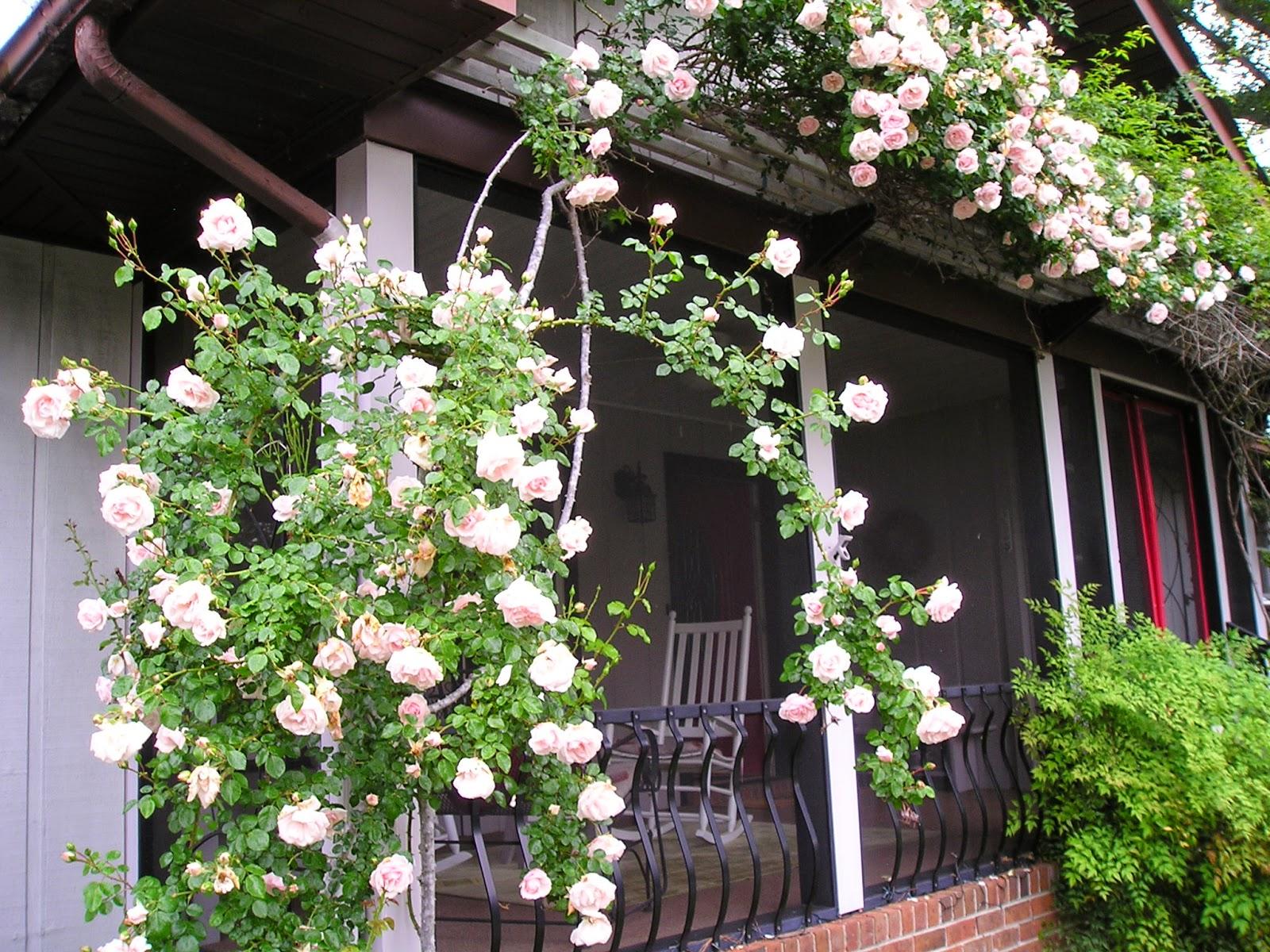 Carol S Garden: Carol's Greenville NC Garden: New Dawn Rose