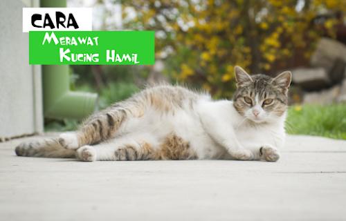 Cara Merawat Kucing Hamil