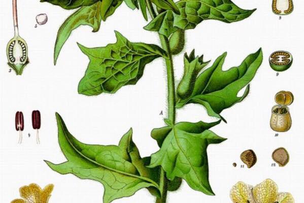 Υοσκύαμος: Το βότανο για ιέρειες, μάγισσες και ιατρική!