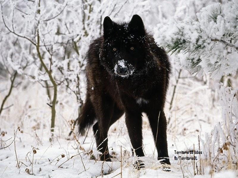Canis lupus pambasileus