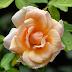 Good morning rose beautiful images