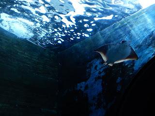 リヴォルノ水族館のエイ