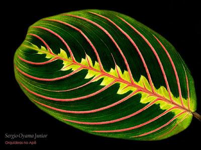 Maranta leuconeura var. erytroneura