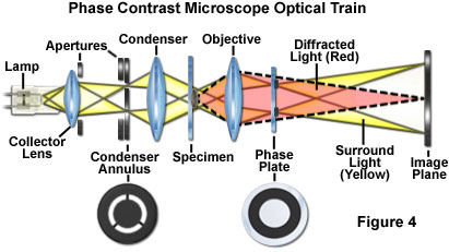 Microbiology Concepts: Phase Contrast, Electron Microscope ...