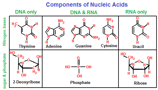 amino acids rna diagram rna polymerase diagram