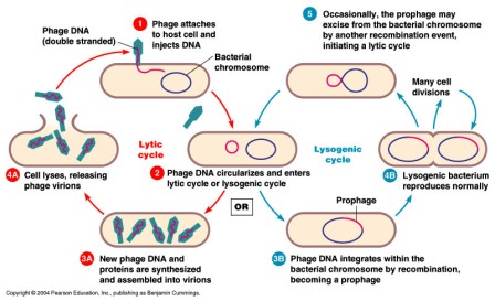 Bacteriophage Lytic And Lysogenic Cycle Biology Exams 4 U