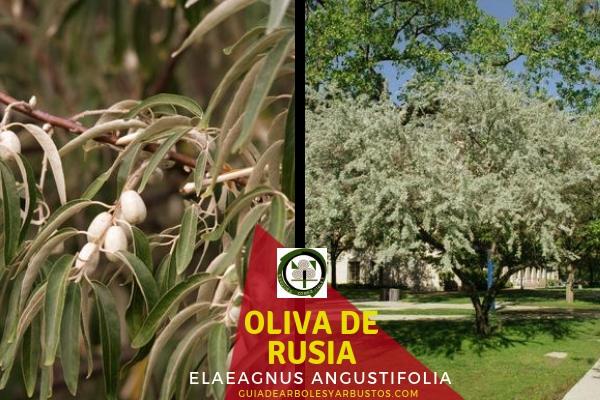 La Oliva de Rusia, Elaeagnus angustifolia, o árbol del paraíso, guía de arboles y arbustos