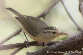 Ditemukan Burung Spesies Baru di Rote