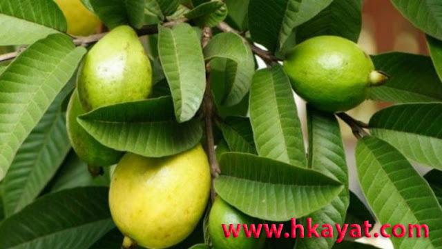 فوائد ورق الجوافة الصحية.. 11 فائدة صحية لورق الجوافة تعرف عليها..