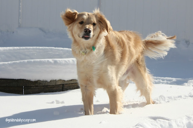 golden retriever dog playing in snow #wordlesswednesday