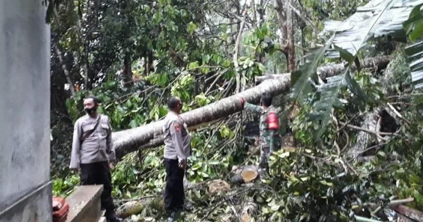 Pohon Alba Tumbang di Pangadegan Timpa Rumah Warga