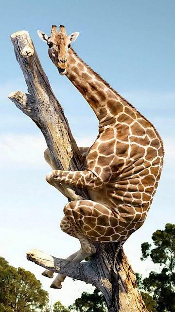giraffa sull'albero