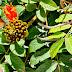 a borboleta saltitante