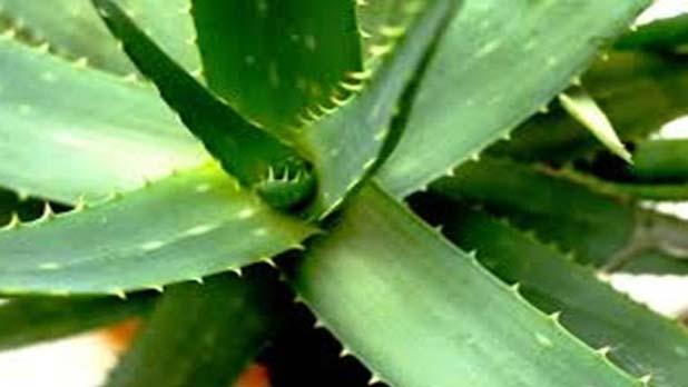 How to Use Aloe Vera for Acne Scars- Aloe Vera For Acne: How To Use Aloe Vera For Treating Acne