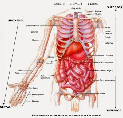 Ubicación de huesos, músculos y órganos según los planos anatómicos