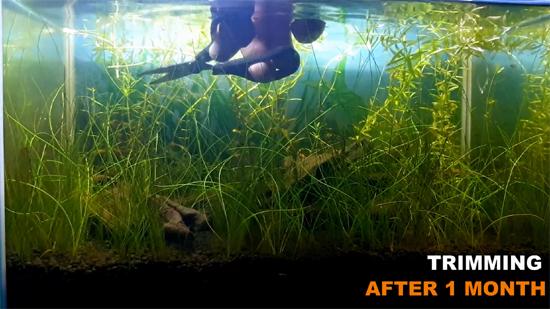 Trimming Stem Plants in Aquarium