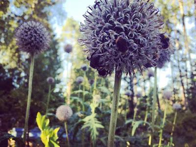 violetinsävyinen pallokasvi sinipallo-ohdake mehiläisiä