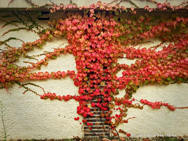 Lierre aux couleurs d'automne © Lune « Sur un Petit Chemin ... »