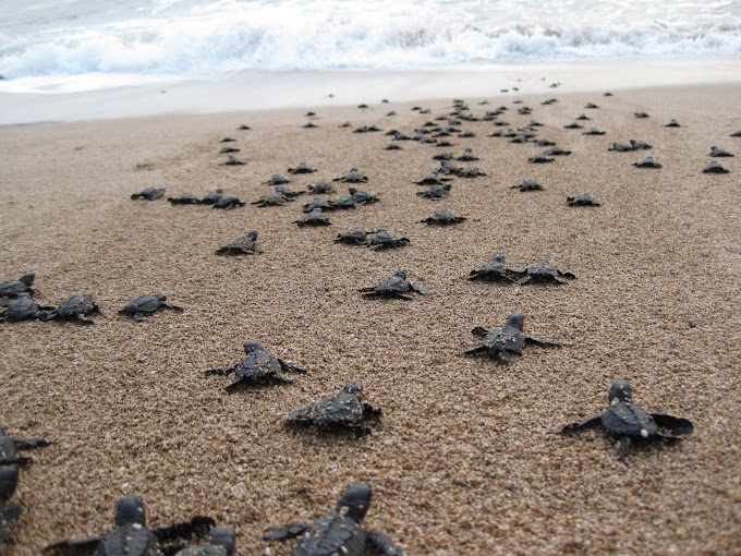 El cierre de playas por el coronavirus permite el nacimiento de cientos de tortugas en extinción