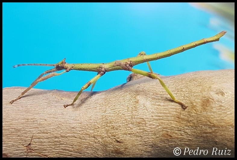 Ninfa macho L3 de Haplopus micropterus, 4,2 cm de longitud