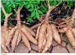 Cassava Farming And It Economic Importance.
