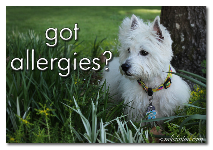 "Pierre the Westie meme ""Got Allergies"""