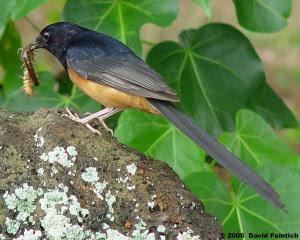 Burung Murai Batu Medan, Kalimantan, Nias, Lahat Gacor Siap Di tangkarkan