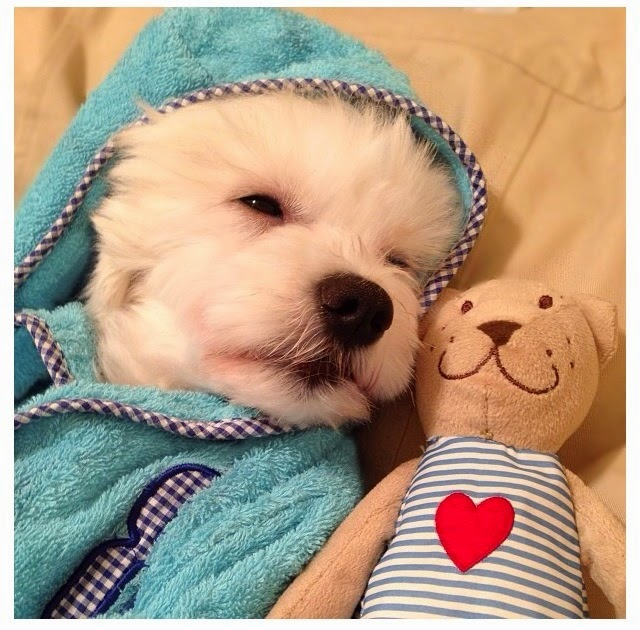 Adorbs....westie puppy and buddy