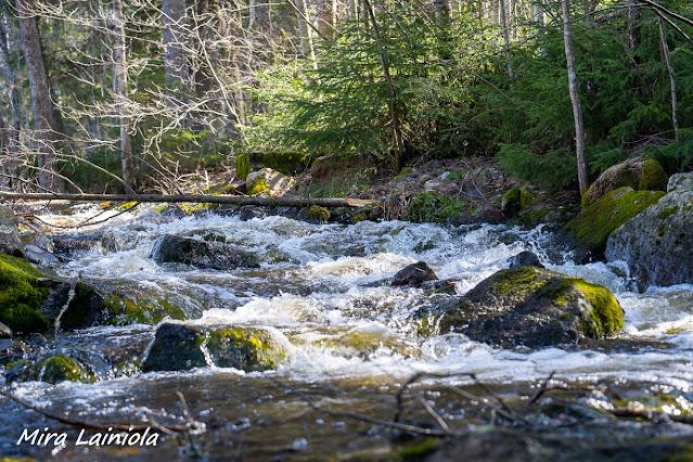 Metsässä kulkeva puro kuohuu virratessaan. Purossa on sammaleisia kiviä.
