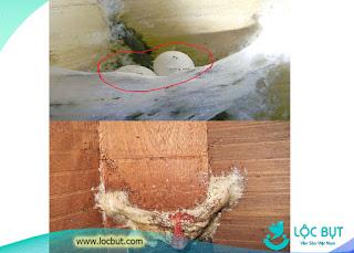 Kiến tấn công trứng và chim con trong nhà yến.