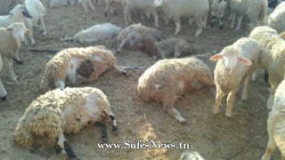 مرض اللسان الأزرق يفتك بقطيع الأغنام و الأبقار في تونس